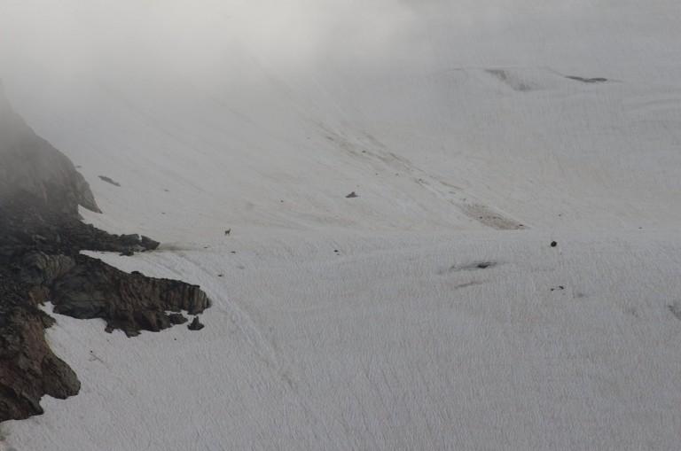 Wer findet die Gemse auf dem Gletscher