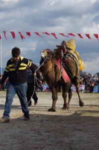 Ein Türke führt ein festlich geschmücktes Kamel am Seil durch die Arena mit Sandboden.