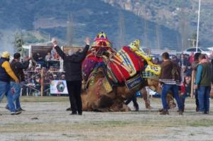 Zwei geschmückte Kamele in der Arena sind von mehreren Männern umringt. Der Schiedsrichter hebt die Arme zum V in die Luft, um den Kampf zu beenden. Das eine Kamel hat das andere zu Boden gedrückt und damit gewonnen.