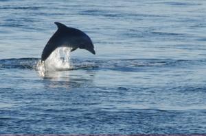 Ein einzelner Delfin beim Sprung aus dem Wasser (Dardanellen in der Türkei).